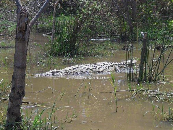 coccodrillo-nuota-lago-chamo-arba-minch-omo-ethiopia-etiopia