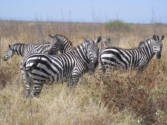 gruppo-zebre-savana-arba-minch-omo-ethiopia-etiopia